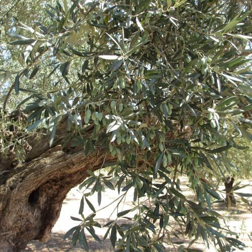 Premium Olive Oil Set   FIVE